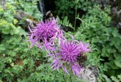 Jardin botanique alpin dit La Jaysinia - Latina: Centaurea scabiosa ssp. Alpestris