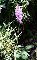 Jardin botanique alpin dit La Jaysinia - Latina: Dactylorhiza fuchsii