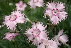 Jardin botanique alpin dit La Jaysinia - Latina: Dianthus uralensis