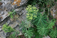 Jardin botanique alpin dit La Jaysinia - Latina: Euphorbia veneta