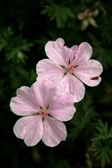 Jardin botanique alpin dit La Jaysinia - Latina: Geranium sanguineum 'Striatum'