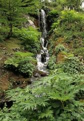 Jardin botanique alpin dit La Jaysinia - Latina: Heracleum mantegazzianum