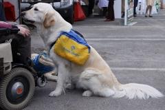 Ecole nationale vétérinaire - Français:   Chien d'assistance aux handicapés moteurs.