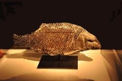 Muséum d'histoire naturelle - Français:   Fossile photographié au museum d\'histoire naturelle du Havre (Seine-Maritime, 76)